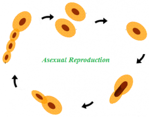 Under what conditions is asexual reproduction advantageous