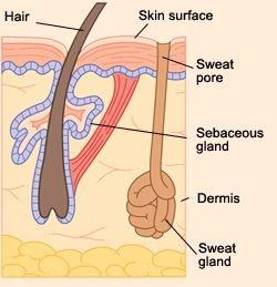 Hyperhidrosis _ Sweat Gland