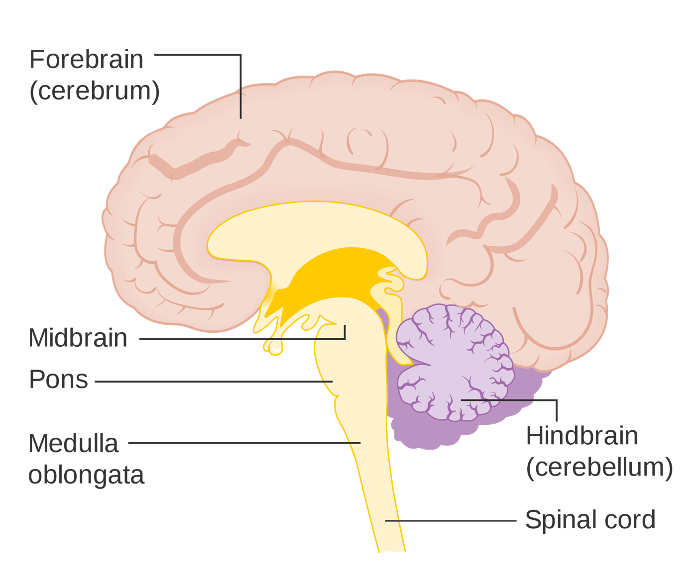 The Three Brain Parts Diagram Block And Schematic Diagrams