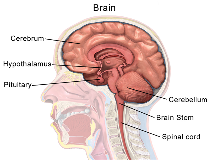 Labelled Diagram Of The Brain Gcse - Block And Schematic Diagrams •