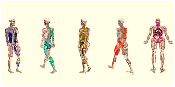 Locomotion In Human Beings- Functions of Muscles and Skeletal System
