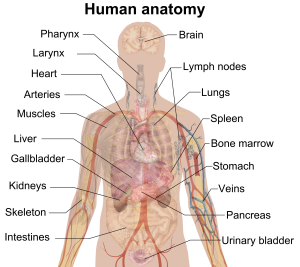 Human Anatomy - Five Most Important Organs in the Human Body