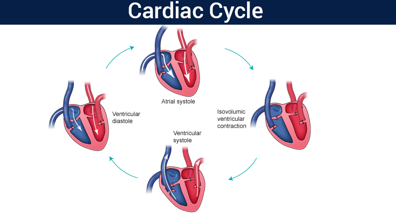 Cardiac Cycle Physiology And Different Phases Of Cardiac Cycle