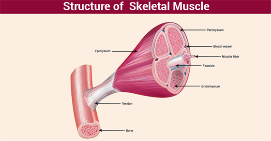 Skeletal Muscles Structure Functionstypes And Its Properties