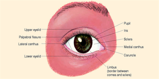 Structure Of Eye Structure And Function Of An Human Eye