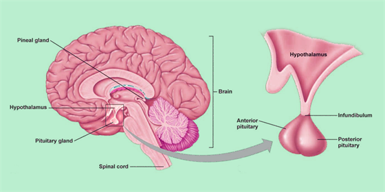 Pituitary Adenoma Symptoms Treatments And Its Causes