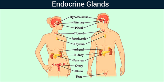 Endocrine system - List Of Endocrine Glands & Functions | Byju\'s