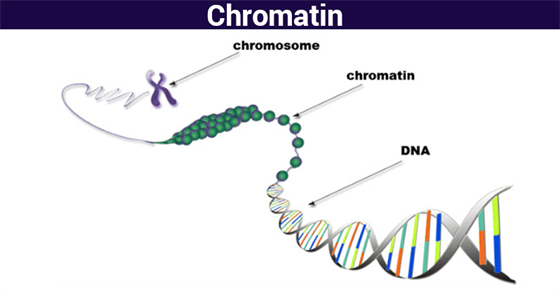 chromatin structure function \u0026 analyzing chromatin chromosomes@byju\u0027s  the structure of a chromatin or the so called nucleosomes resembles the arrangement of string on beads when observed under the light microscope in its
