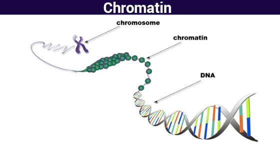 diagram of chromatin online wiring diagramchromatin structure function \\u0026 analyzing chromatin chromosomes@byju\\u0027sthe structure of a chromatin