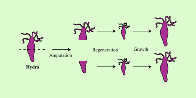 Images of asexual reproduction in hydra