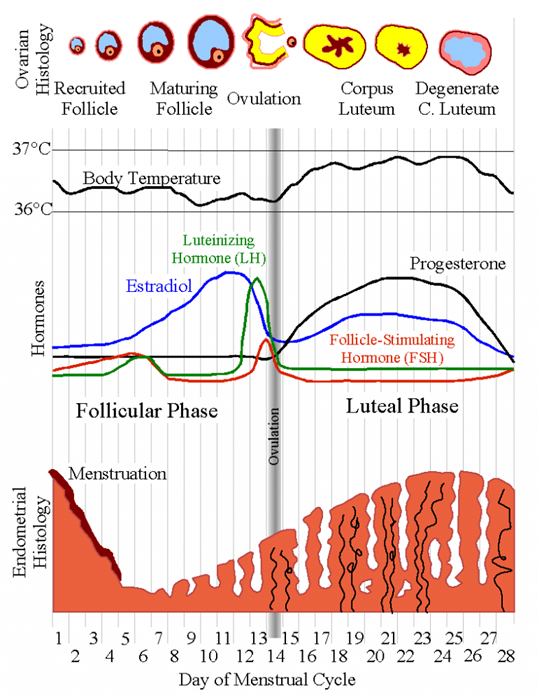 Menstrual Cycle A Reproductive Phase In Humans