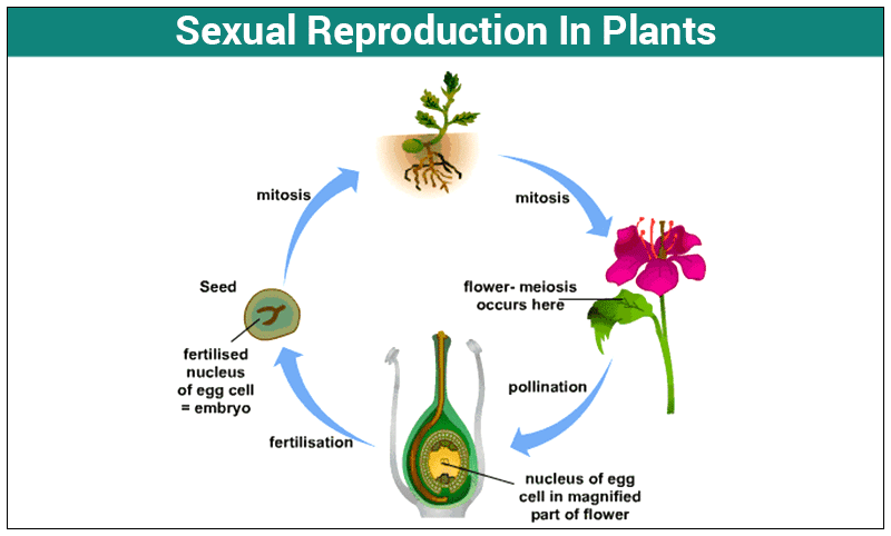 How do plant reproduce sexually