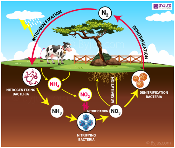 Nitrogen Cycle Introduction Stages And Its Process