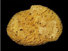 Spongia officinalis, the bath sponge