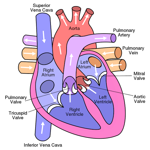 Human Heart - Structure,Functions and Facts about the Human Heart