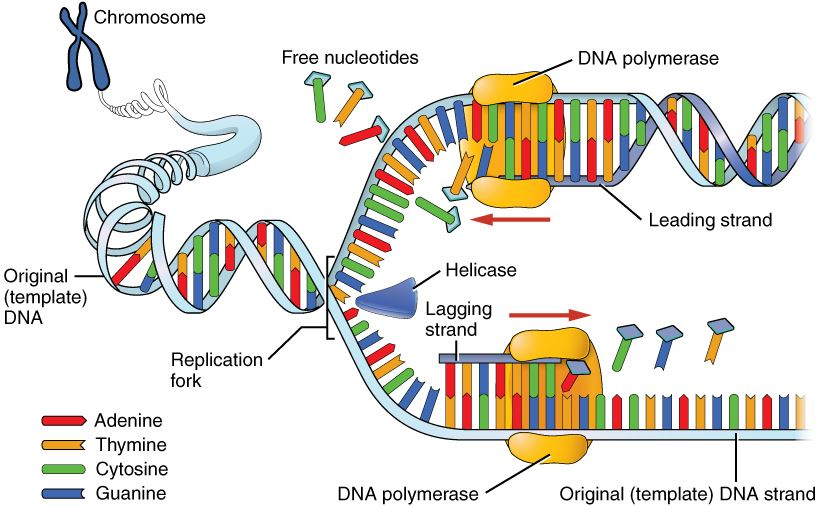 Machinery and Enzymes of DNA replication