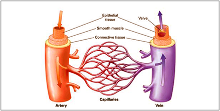 Difference between Arteries and Veins - Few major differences