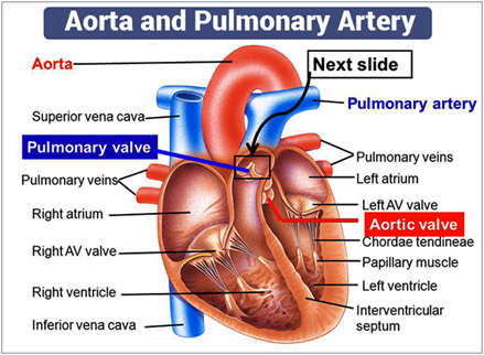 Aorta Artery and Pulmonary Artery Differences and Functions