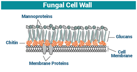 Fungal Cell Wall Cell Wall Function Fungi Structure And Growth