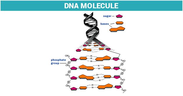 Molecular Basis of Inheritance - DNA, RNA and Genetic Code