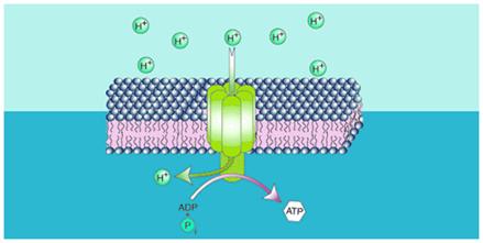 Phases of Respiration - Oxidative Phosphorylation