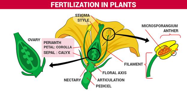 Fertilization Process