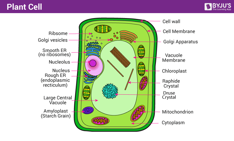 diagram of different types of plant cells