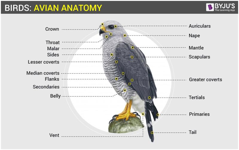 Bird Skeletal System - Anatomy of Avian Skeletal System