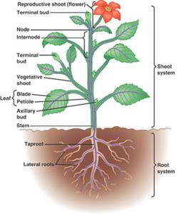 Root and Shoot System