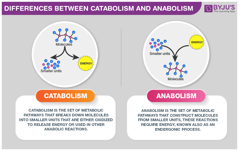 Differences Between Catabolism and Anabolism