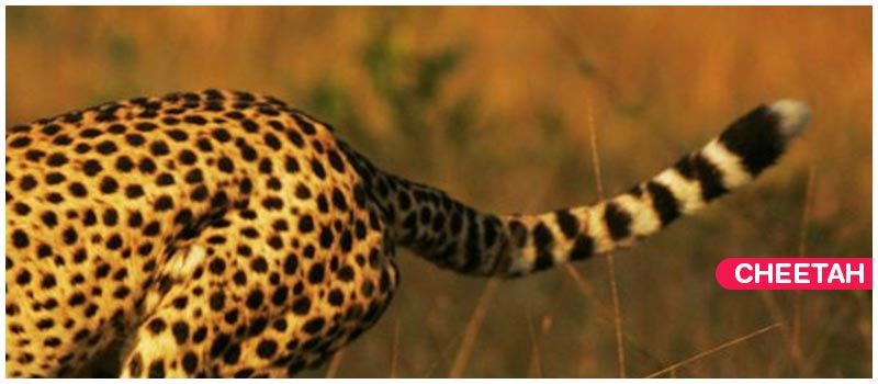 Difference Between Leopard and Cheetah