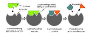 Enzyme - Catalysis