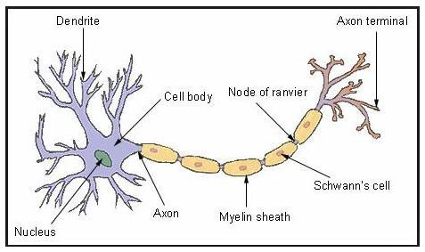 Ncert solutions class 8 science chapter 8 cell structure and the main function of the nerve cell is to transmit messages to the brain from receptor organs and vice versa it has a control over the working of different ccuart Gallery