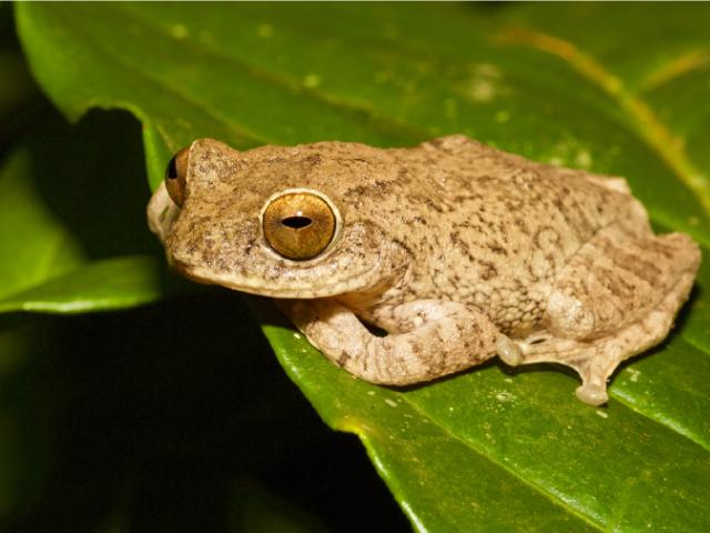 Roarchestes ponmudi frog