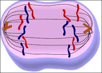 Mitosis - Anaphase