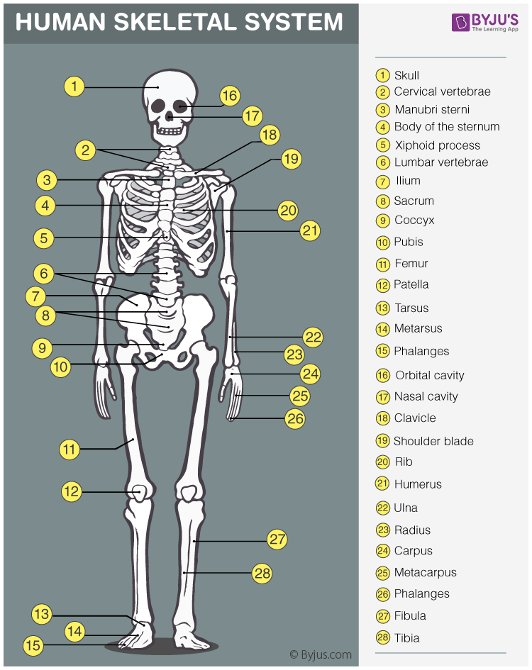 Skeletal System Anatomy Physiology Of Human Skeletal System