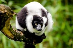 Lemurs of Madagascar _ Endemic species