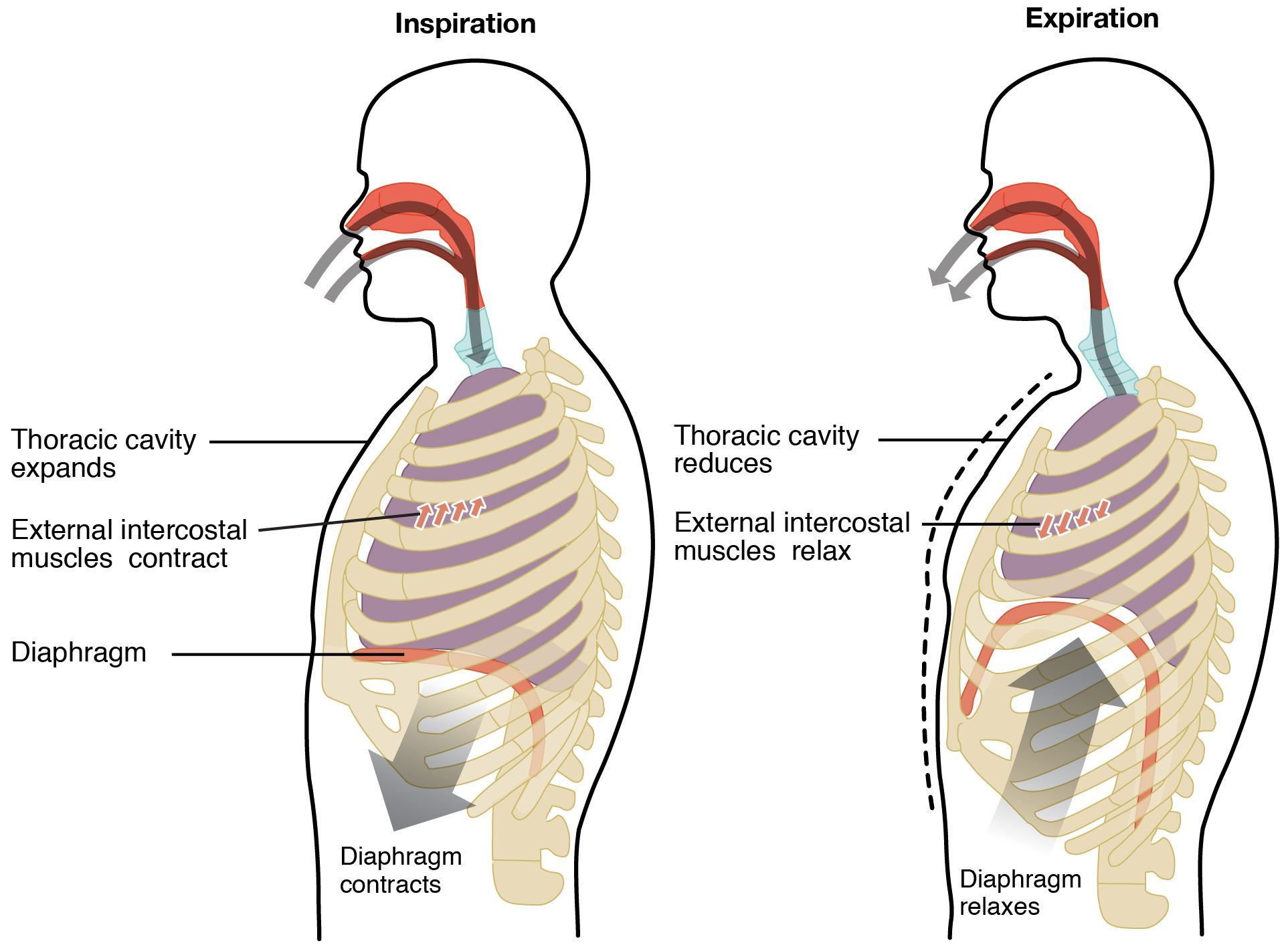 Mechanism of breathing
