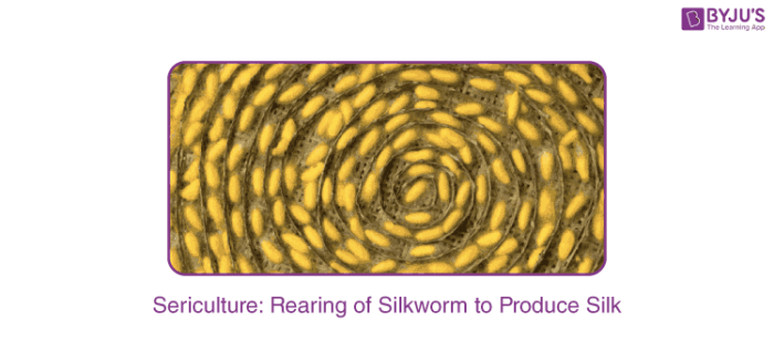 Rearing Of Silkworm