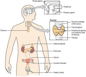 Endocrine Glands And Their Hormones Types And Their Functions