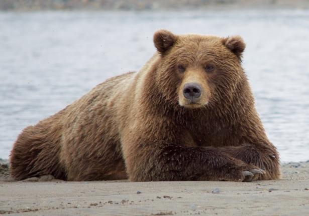 Brown Bear - Omnivore