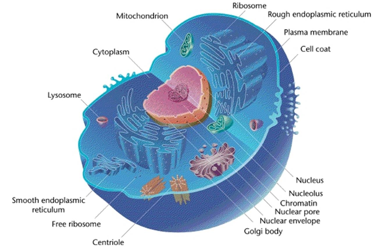 Plant Cell And Animal Structure With Images Byjus Simple Diagram Labeled For Kids Organelles Eukaryotic