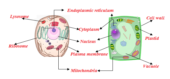 Plant Cell And Animal Cell Structure With Images   Byju U0026 39 S