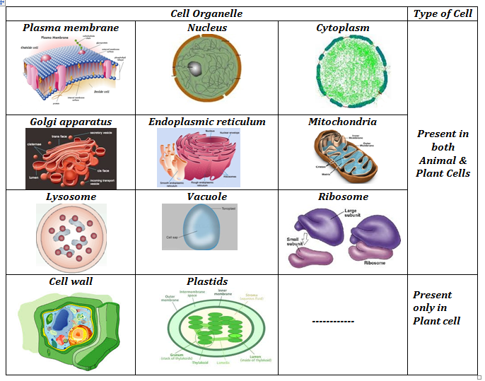 Table Plant cell Vs Animal cell
