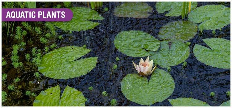Adaptation in Aquatic Plants