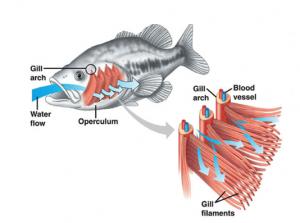 Respiration - Fish
