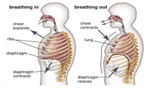 breathing mechanism inhalation exhalation breathing rate rh byjus com