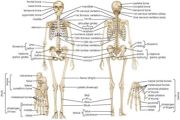 Human Skeletal System - Parts, Muscles, Skeleton, and Locomotion