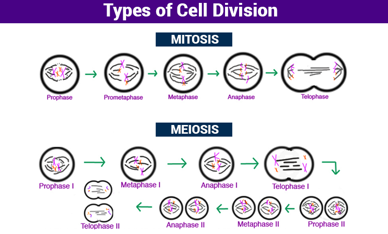 Types of Cell Division