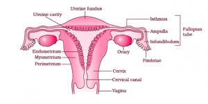 Female Reproductive Organs
